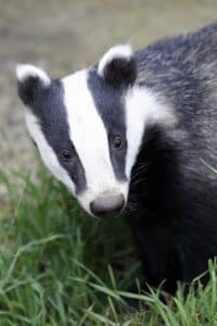 Badger, Meles meles, single animal head shot, Captive, July 2011